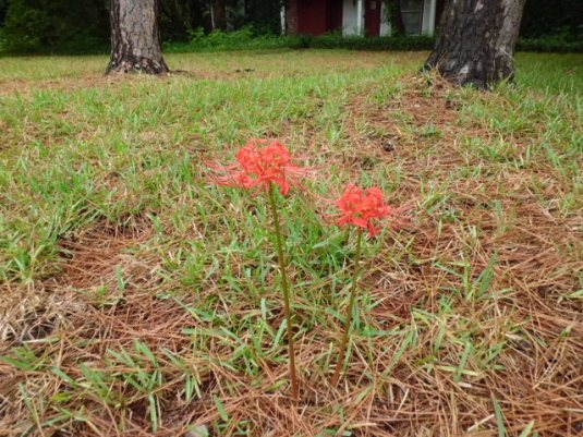 First Lilies