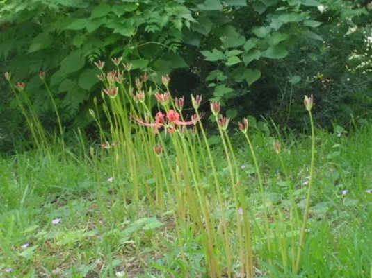Lilies 092214